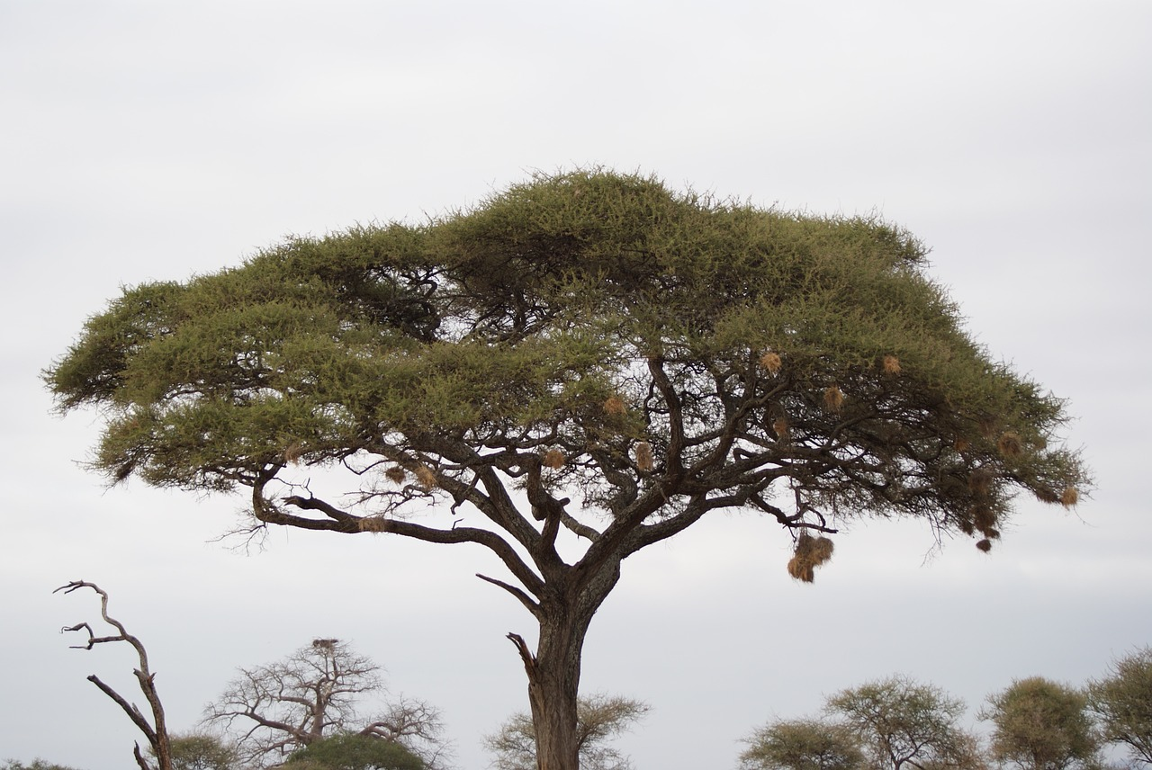 afrikuli-akacia